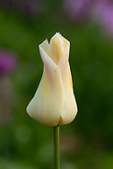 Tulipa 'Elegant Lady' a yellow tulip with a hint of pink.