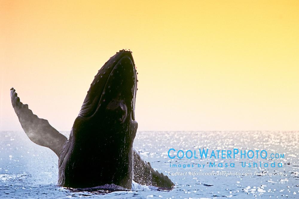 humpback whale, breaching, Megaptera novaeangliae, Hawaii, Pacific Ocean (dm)