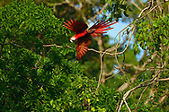 Scarlet Macaw (Ara macao) flying through the tropical tree canopy of Golfo Dulce, Costa Rica.