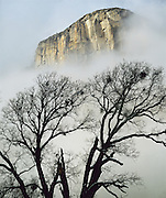 Black oak and El Capitan, Yosemite National Park, California