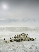 """Sheep herd leaving in the morning. Wolf attack on livestock is common..Campment of the """"second"""" Sary Tash. Ustad's Ghulam's camp..Winter expedition through the Wakhan Corridor and into the Afghan Pamir mountains, to document the life of the Afghan Kyrgyz tribe. January/February 2008. Afghanistan"""