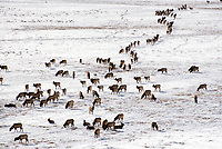 A group of elk move along the southern end of the National Elk Refuge on Thursday morning. Refuge officials recently conducted their annual count to determine the approximate size of the Jackson Elk Herd.