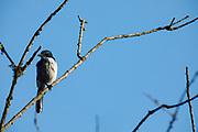 Scrub Jay (Aphelocoma insu) at Baskett Slough National Wildlife Refuge, Dallas, Oregon.