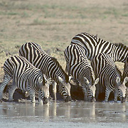 Burchell's Zebra, (Equus burchelli) Group gathered and drinking at waterhole. Kruger National Park. South Africa.