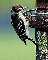 Downy Woodpecker. Image taken with a Nikon D5 camera and 200-500 mm f/5.6 VR lens.