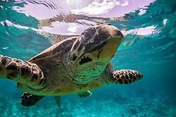 Turtles Turtles underwater in the Seychelles
