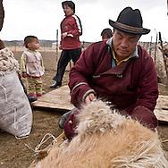 Mongolia. Cashmere wool, harvest on special cashmere goats. nomads, cattle breeders in the countryside near Lun, ,  Lun -    /   cachemire, recolte de la laine avec un peigne sur les chevres a cachemire.  eleveurs nomades dans la steppe pres de Lun;   lun - Mongolie