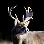 Whitetail Deer, (Odocoileus virginianus) Portrait of buck in rut. Fall.