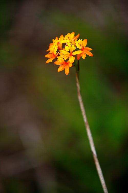 Itanhaem_SP, Brasil.<br /> <br /> Ilha de Queimada Grande e uma ilha localizada em Itanhaem, Sao Paulo. Na foto detalhe da flora.<br /> <br /> Ilha de Queimada Grande is an island located in Itanhaem, Sao Paulo. In this photo a flower.<br /> <br /> Foto: JOAO MARCOS ROSA  /NITRO