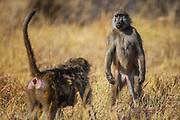Two female charm baboons (Papio ursinus) literally having a stand-off display, Moremi,  Botswana