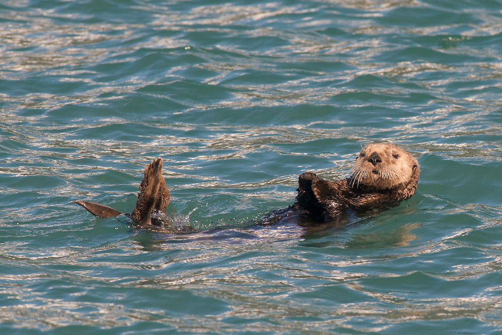 An adult sea otter floating curiously on its back near the boat appears to be feeding while enjoying the sunny day.