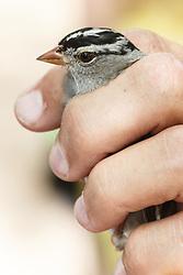 Bird banding, Mitchell Lake Audubon Center, San Antonio, Texas, USA.