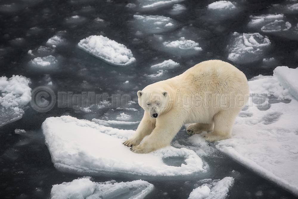 With two feets on each ice floe, this polar bear seem to be a bit uncomfortable   Med to føtter på hvert isflak, ser denne isbjørnen ut til å være litt ukomfortabel.