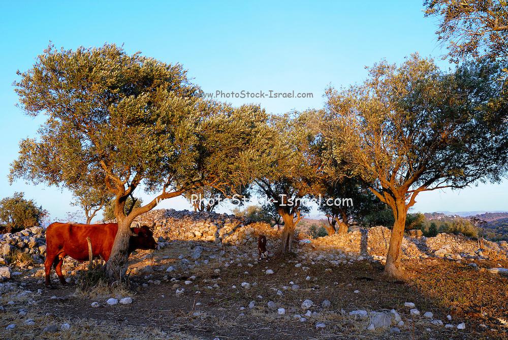 Israel, Negev, Lachish region, Free roaming cattle grazing in the fields
