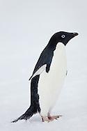 Gentoo penguin (Pygoscelis papua) about to toboggan on Peterman island