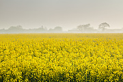Morning mist partially obscures Burnham Overy Staithe beyond a typically flamboyant rapeseed crop. North Norfolk, East Anglia.