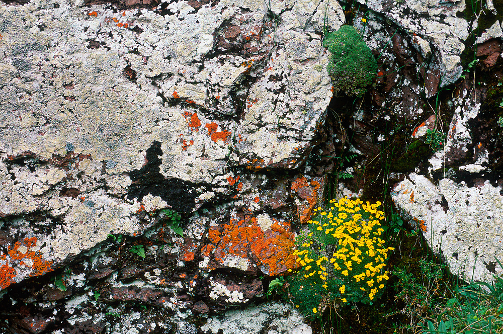 Boulder with lichens and yellow monkeyflowers, near the Village of Kazbgi, Caucasus Mountains, The Country of Georgia