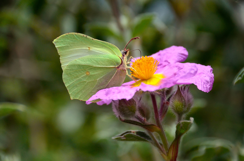 Butterfly on a wild rose, Tuscany, Italy.