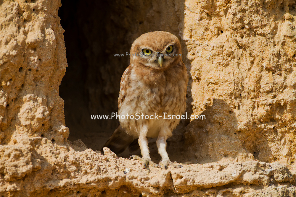 Little owl (athene noctua) perched on a rock cliff. At just 20 centimetres in height this owl is, as its name implies, one of the smallest of its kind. Living off insects, small mammals and small birds. Its habit of hunting at dawn and dusk allows it to prey on both nocturnal and diurnal animals. Photographed in the Negev Desert in June