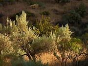 Sagebrush, Leslie Gulch Area of Critical Environmental Concern, Oregon.