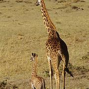 Giraffe (Giraffa camelopardalis) mother and her baby on the Serengeti Plains in Masai Mara National Reserve. Kenya, Africa
