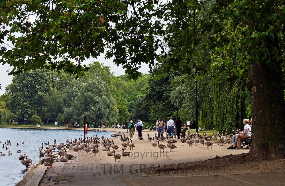 Ducks and geese, Hyde Park by The Serpentine, London. Wild birds may risk Avian flu bird flu virus