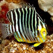 Multi-Barred Angelfish inhabit reefs.  Picture taken Islands north of Alor, Indonesia