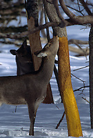 A pair of sika deer (cervus nippon) strip trees as they feed on the bark.