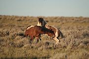 Wild mustang stallions play fighting
