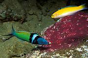 bluehead wrasse, Thalassoma bifasciatum, ( terminal male <br /> phase or supermale below, initial phase above ) feeding on <br /> eggs of sergeant major damselfish, Abudefduf saxatilis<br /> Commonwealth of Dominica ( Eastern Caribbean Sea )