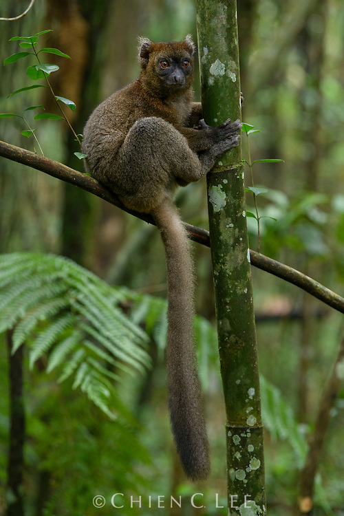 The critically endangered Greater Bamboo Lemur (Prolemur simus) is restricted to wet rainforests of Madagascar's southeast where it is highly dependent on Cathariostachys bamboo. Ranomafana National Park, Madagascar.