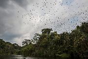 Une colonie de chauves-souris en déplacement au-dessus de la rivière Yenge, dans le bloc nord de Salonga.