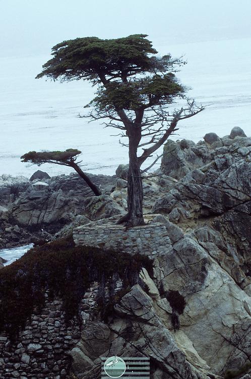 Tree Growing On Rock-Hwy 1 in California