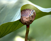 Dried Seed Pod under a Lotus Leaf  Irmo, South Carolina photo by  Catherine Brown
