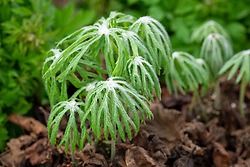 Syneilesis aconitifolia. Shredded umbrella plant.