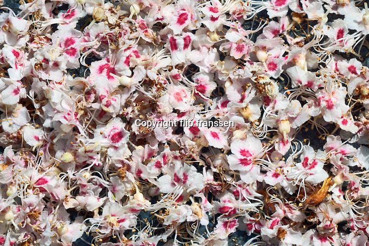 Nederland, Nijmegen, 30-4-2020 Afgewaaide bloesemblaadjes vormen een zacht tapijt op de grond . Foto: Flip Franssen