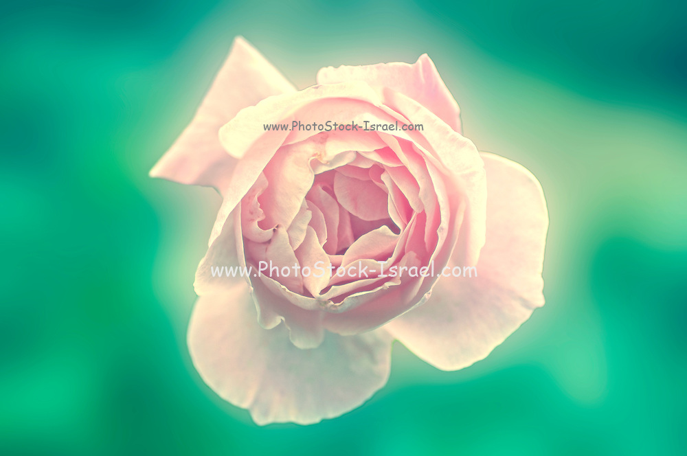 Digitally manipulated Pink English rose as seen from above with a green background
