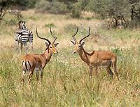 Two Common Impalas, Aepyceros melampus melampus, face off near a Grant's Zebra, Equus quagga boehmi,  in Tarangire National Park, Tanzania.