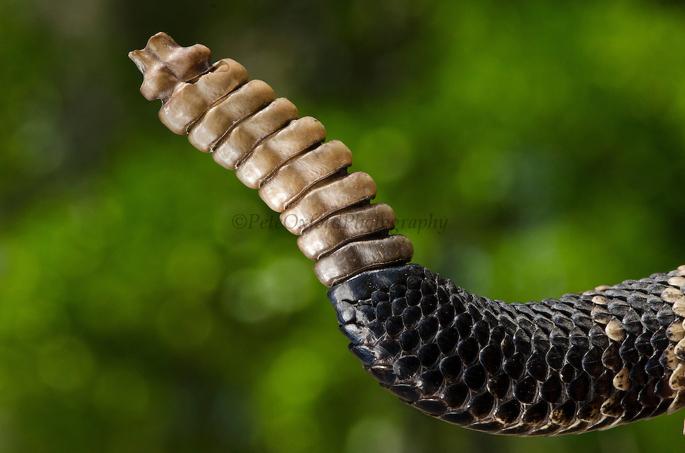 Eastern Diamondback Rattlesnake Rattle(Crotalus adamanteus)<br /> CAPTIVE<br /> The Orianne Indigo Snake Preserve<br /> Telfair County. Georgia<br /> USA<br /> RANGE: Southern United States