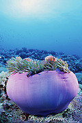 pink or white-maned anemonefish ( clownfish ), Amphiprion perideraion, in magnificent sea anemone, Heteractis magnifica, Layang Layang Atoll, Malaysia ( South China Sea )