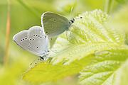 Small blue (Cupido minimus) pair mating. Surrey, UK.