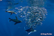 striped marlin, Kajikia audax (formerly Tetrapturus audax ), and California sea lions, Zalophus californianus, feeding on baitball of sardines or pilchards, Sardinops sagax, off Baja California, Mexico ( Eastern Pacific Ocean )