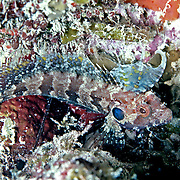 Quilfin Blenny inhabit reefs with abundant algae in the Bahamas and Caribbean; picture taken Grand Turk.