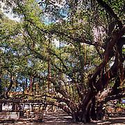 Famous banyan tree in old town Lahaina, Maui, Hawaii.
