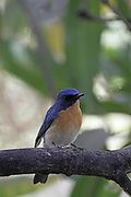 Tickell's Blue Flycatcher, Cyornis tickelliae  India