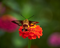 Hummingbird Clearwing moth on a Zinnia flower. Image taken with a Nikon Df camera and 70-300 mm VR lens