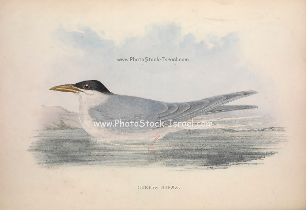 Sterna seena from Zoologia typica; or, Figures of new and rare animals and birds described in the proceedings, or exhibited in the collections of the Zoological Society of London. By Fraser, Louis. Zoological Society of London. Published London, March 1847