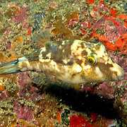 Sharpnose Puffer swim about reefs and seagrass beds in Tropical West Atlantic; picture taken Tobago.