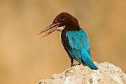 White-throated Kingfisher (Halcyon smyrnensis) Photographed in the Negev Desert, Israel in December