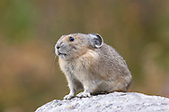 Pika Ochotona princeps Length 16-20cm Small, dumpy relative of rabbits and hares with rather rounded head and proportionately large ears. Tail is small and indistinct externally. Lives amongst scree and boulders in western mountain ranges of North America.